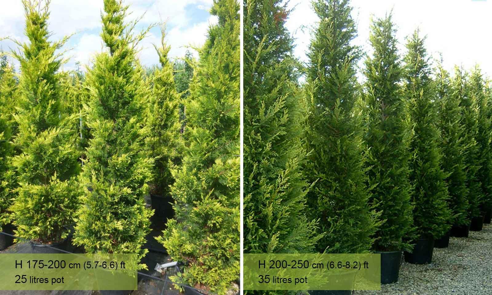 Cupressocyparis Leylandii Castlewellan Gold (Castlewellan Gold Cypress, Leyland Cypress, Galway Gold) - Garden Plants Online