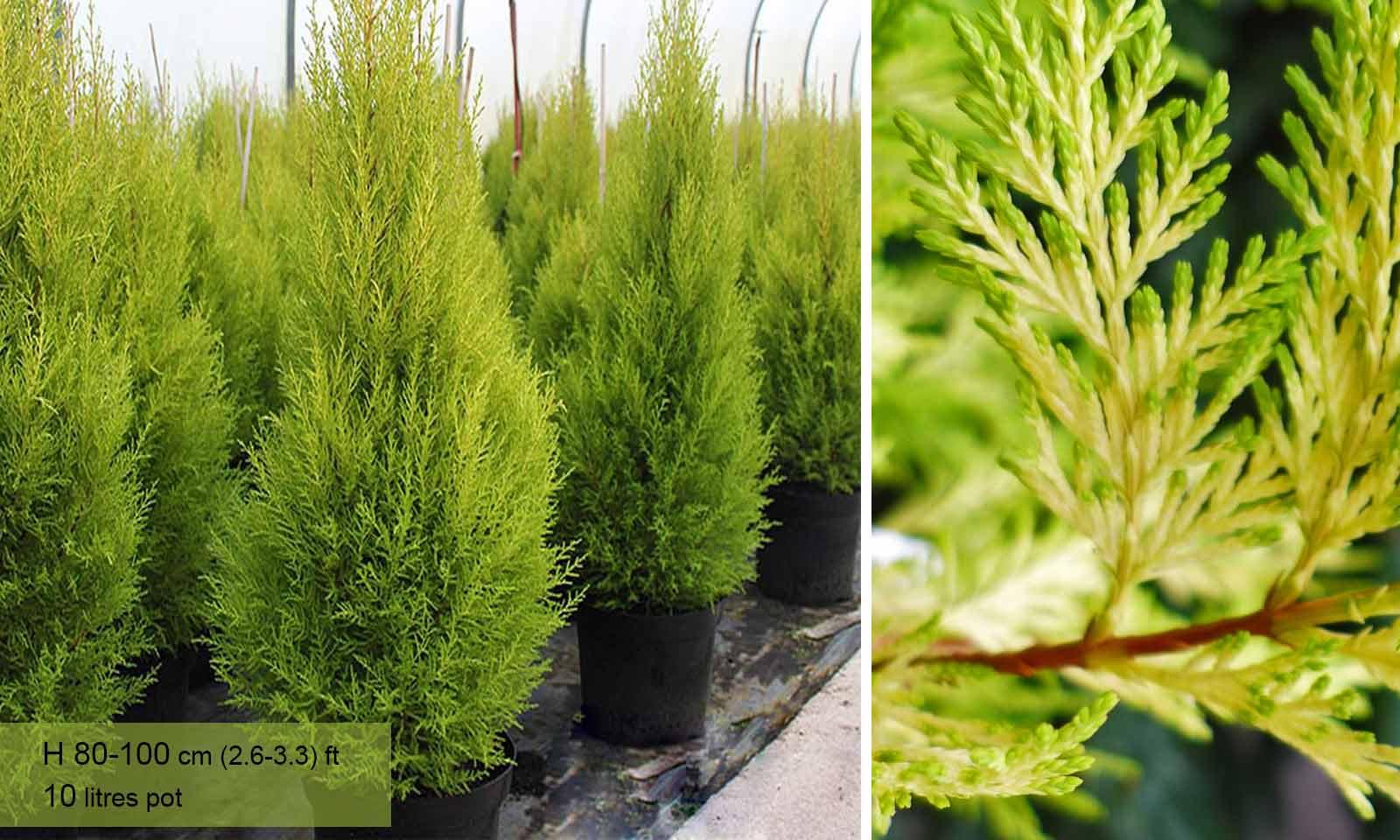 Cupressus Macrocarpa Goldcrest (Monterey Cypress, Goldcrest Cypress) - Garden Plants Online