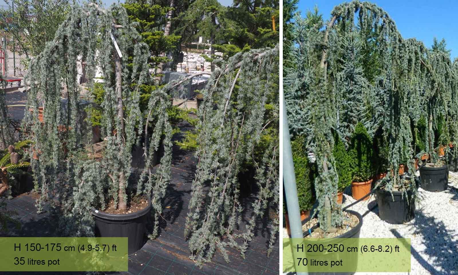 Cedrus Atlantica Glauca Pendula (Weeping Blue Atlas Cedar) - Garden Plants Online