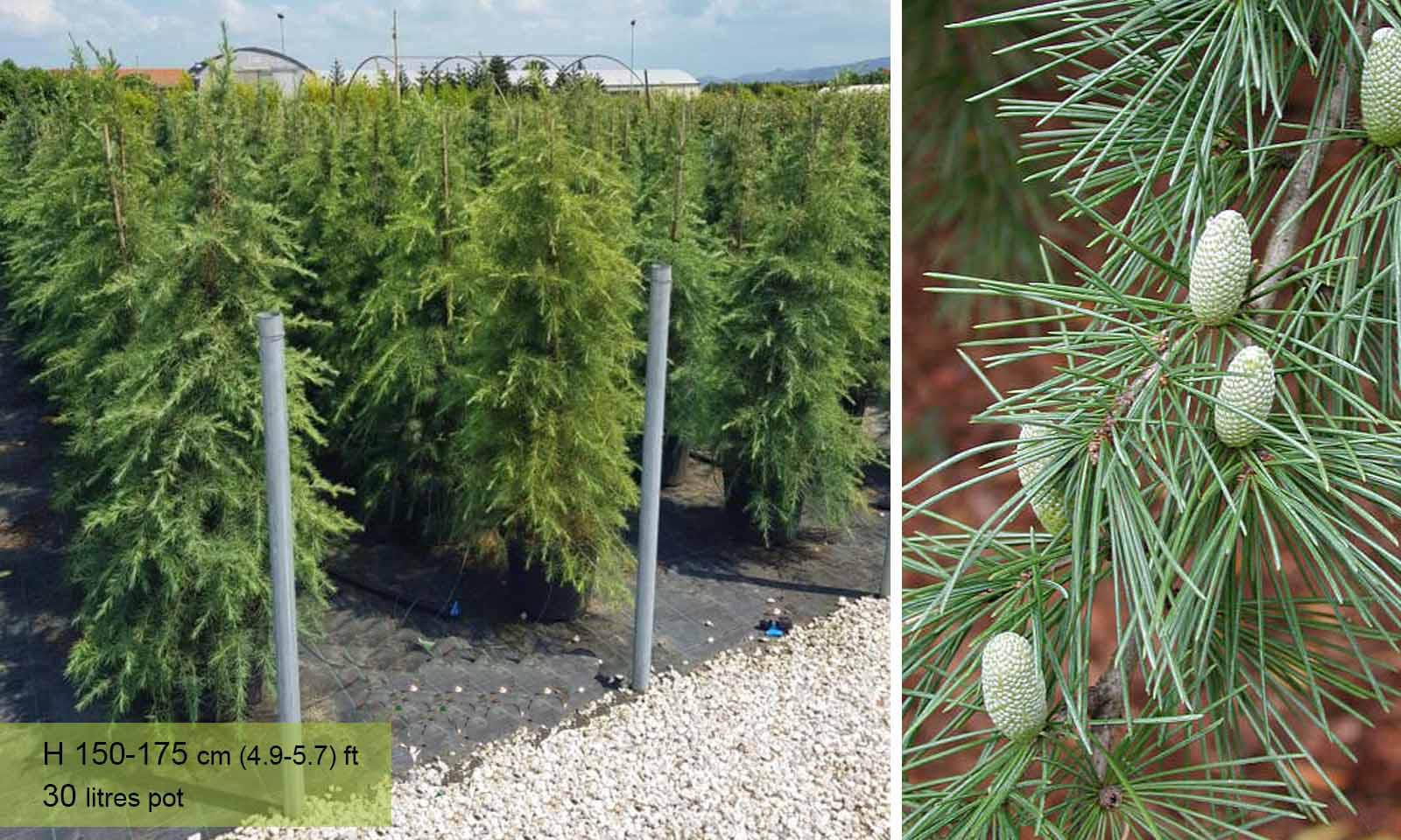 Cedrus Deodara (Deodar Cedar, Fountain Tree, Indian Cedar)) - Garden Plants Online