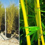 Bambusa Phyllostachys Aureosulcata Spectabilis (Green Groove Bamboo)