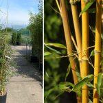 Bambusa Phyllostachys Aureosulcata Aureocaulis (Golden Crookstem Bamboo)