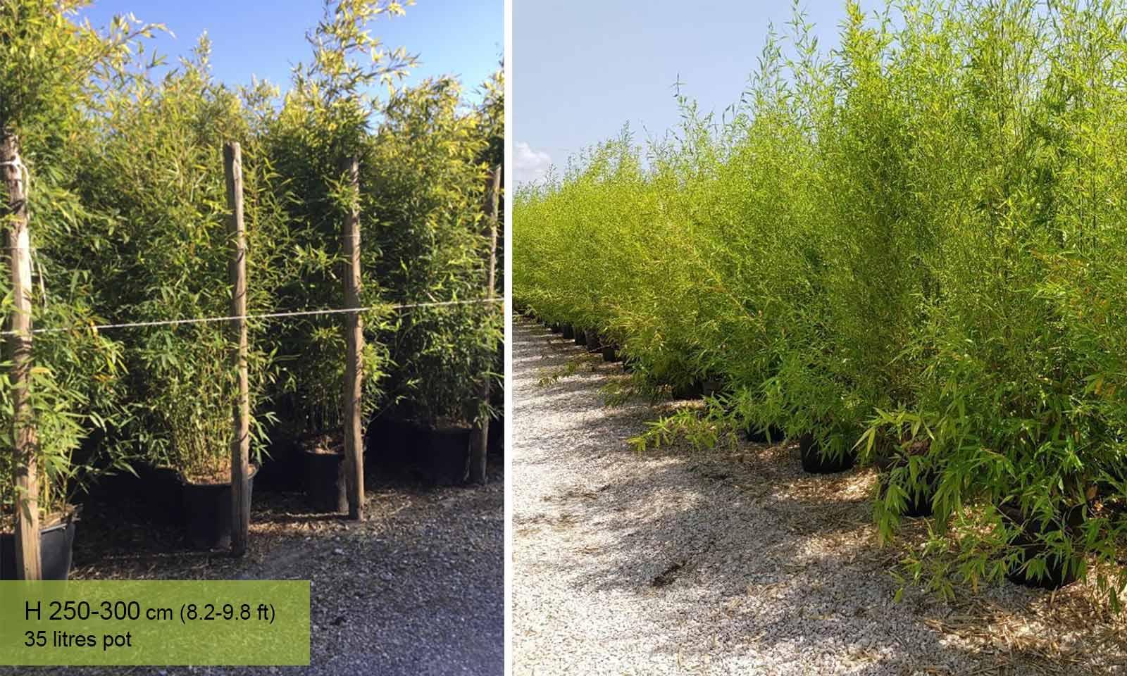 Bambusa Phyllostachys Bissetii (Bisset Bamboo) - Garden Plants Online