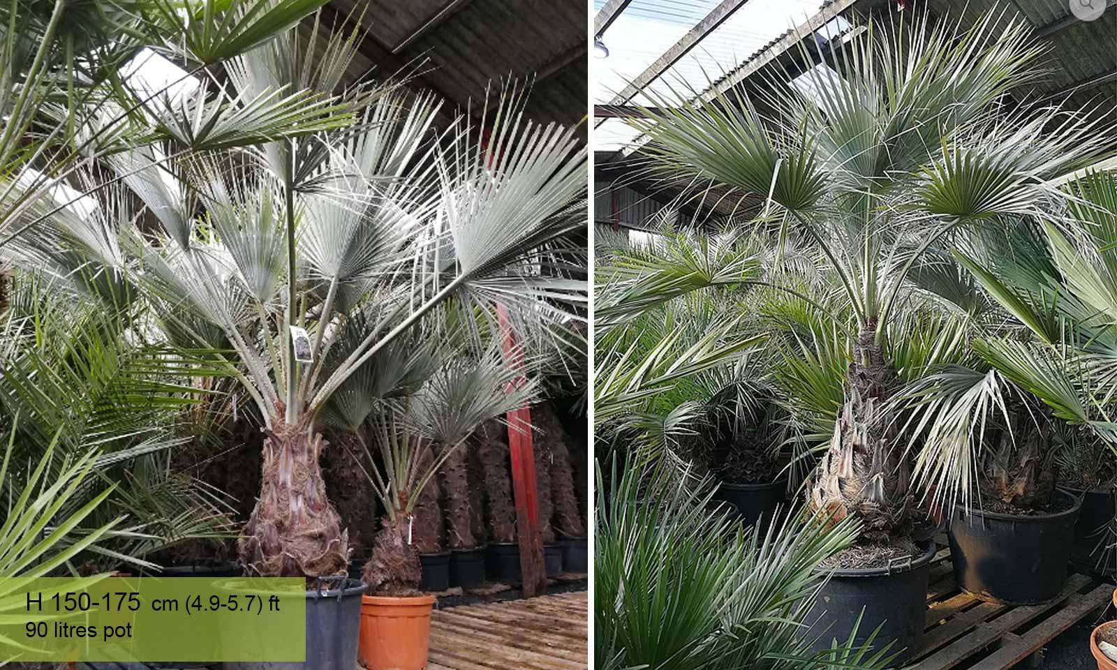 Brahea Armata  (Mexican Blue Palm) - Garden Plants Online