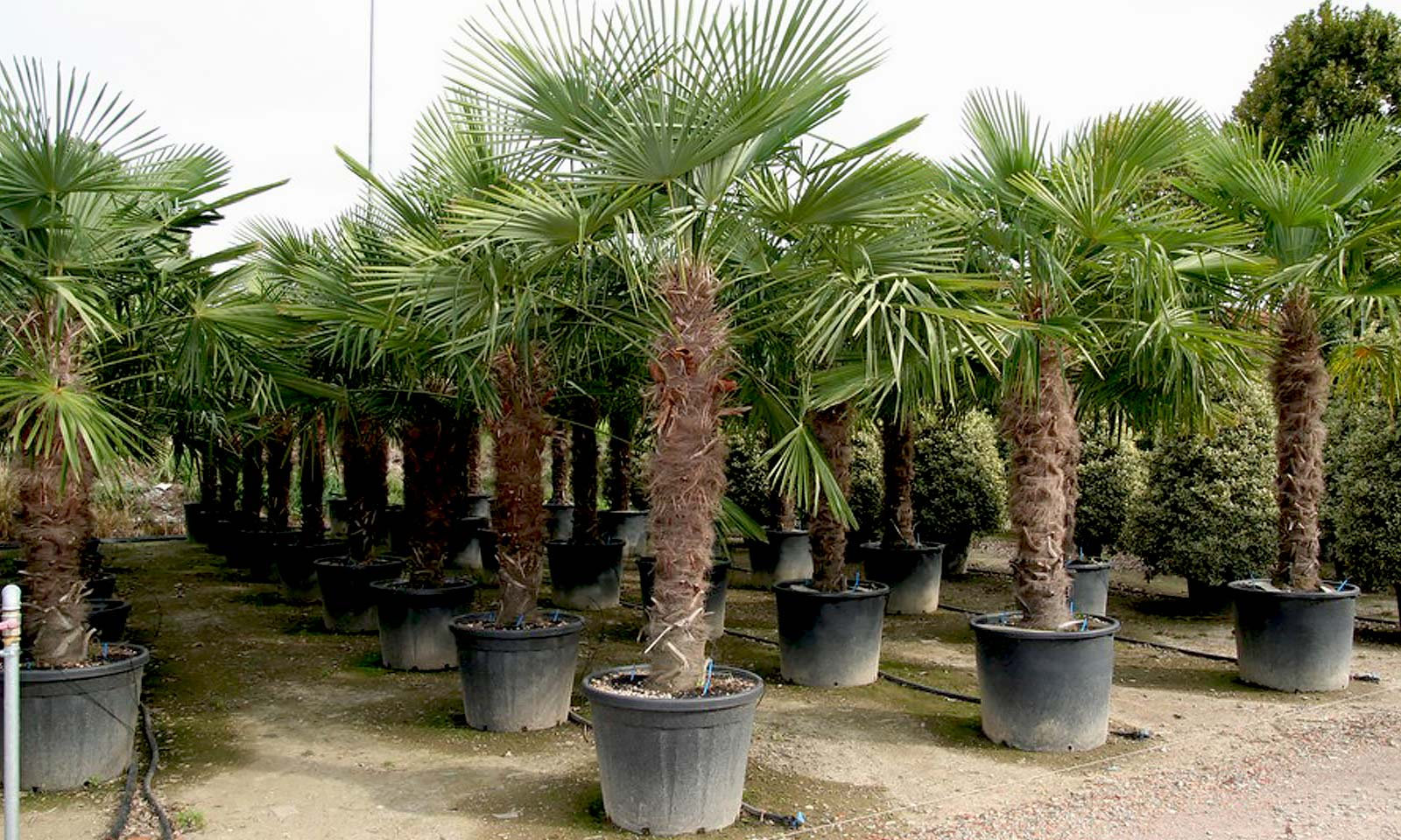 Chamaerops Excelsa / Trachycarpus Fortunei (Chusan Palm)