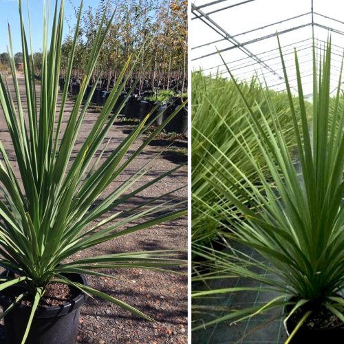 Cordyline Australis (New Zealand Cabbage Tree)