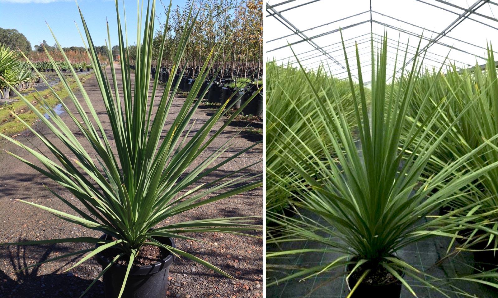Cordyline Australis New Zealand Cabbage Tree Garden Plants Online