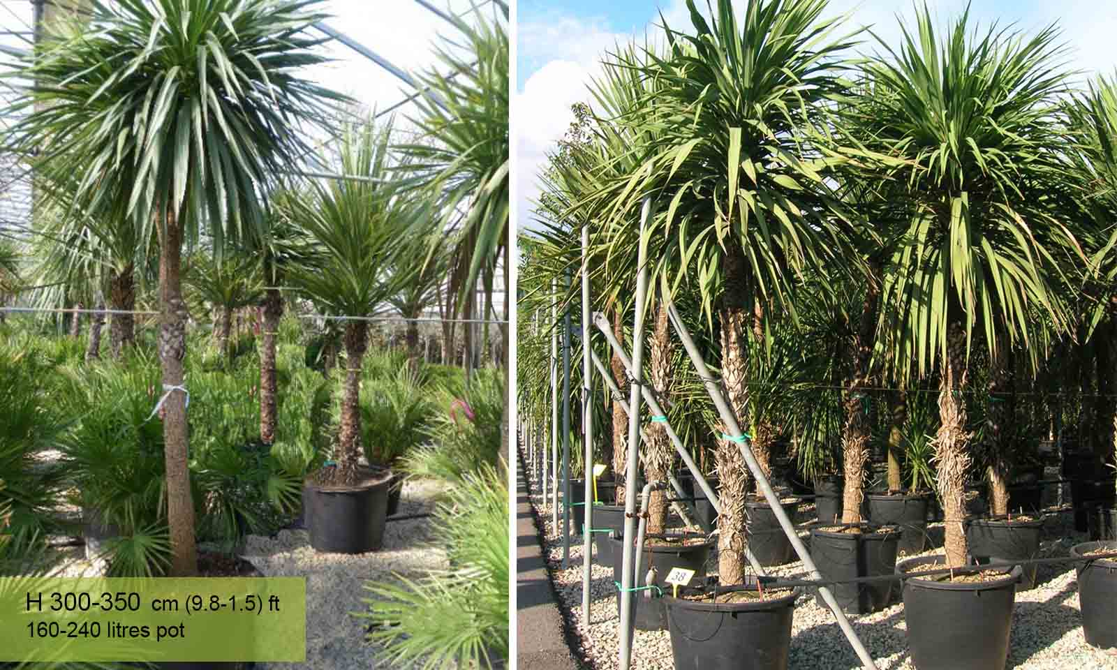 Cordyline Australis (New Zealand Cabbage Tree) - Garden Plants Online