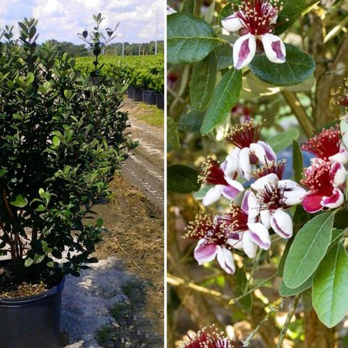Feijoa Sellowiana (Pineapple Guava Tree / Acca Sellowiana) - Shrub