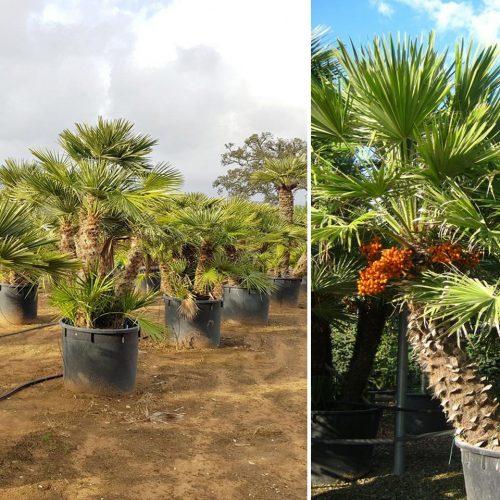 Chamaerops Humilis (Mediterranean Fan Palm)