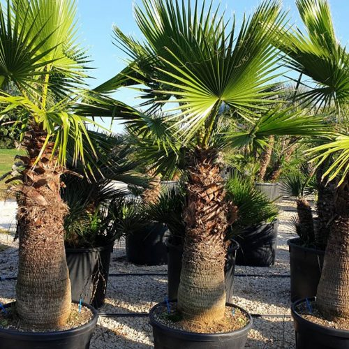 Washingtonia Robusta (Mexican Fan Palm / Skyduster)