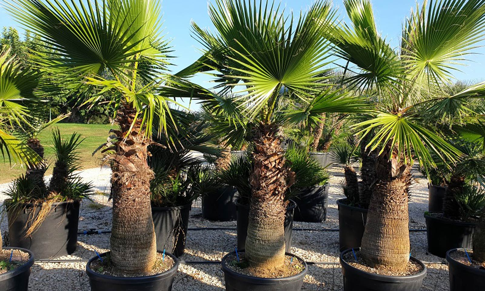 Washingtonia Robusta (Mexican Fan Palm / Skyduster)