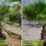 Washingtonia Robusta (Mexican Fan Palm, or Skyduster)