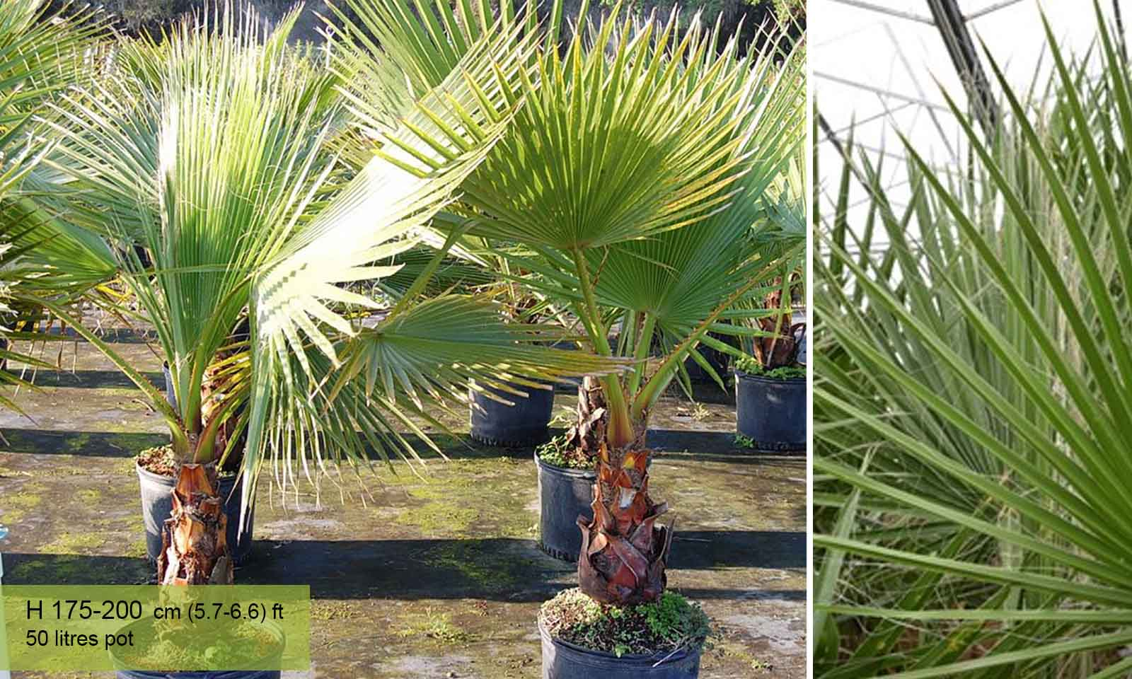 Washingtonia Robusta (Mexican Fan Palm, or Skyduster) - Garden Plants Online