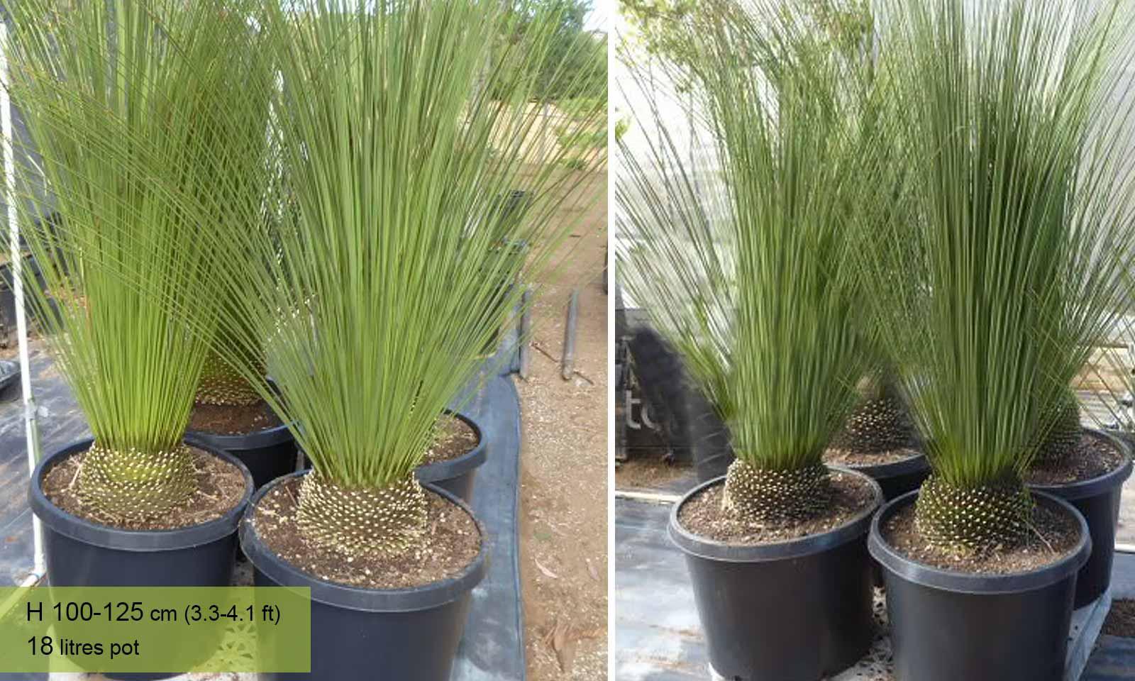 Dasylirion Longissimum (Mexican Grass Tree) - Garden Plants Online