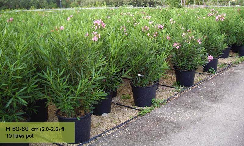 Nerium Oleander - Shrub - Garden Plants Online