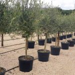 Olea Europaea (Common Olive) – Half Standard