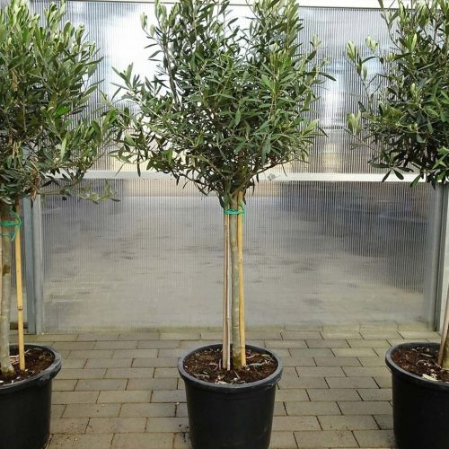Olea Europaea (Common Olive) - Half Standard