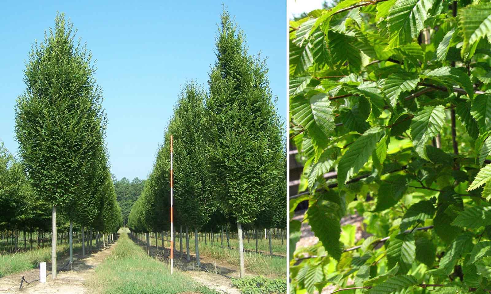 Carpinus Betulus (Hornbeam) - Standard