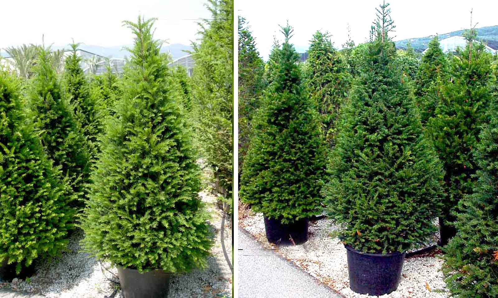 Taxus Baccata (English yew) – Cone