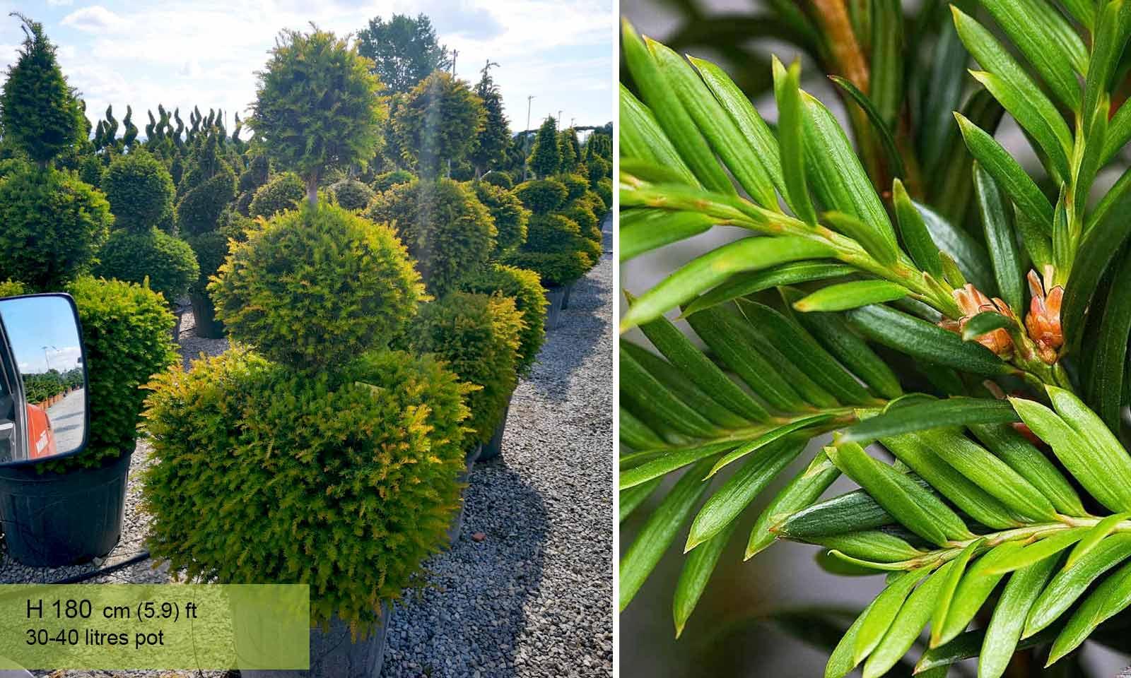 Taxus Baccata (English Yew) – 3 Balls - Garden Plants Online
