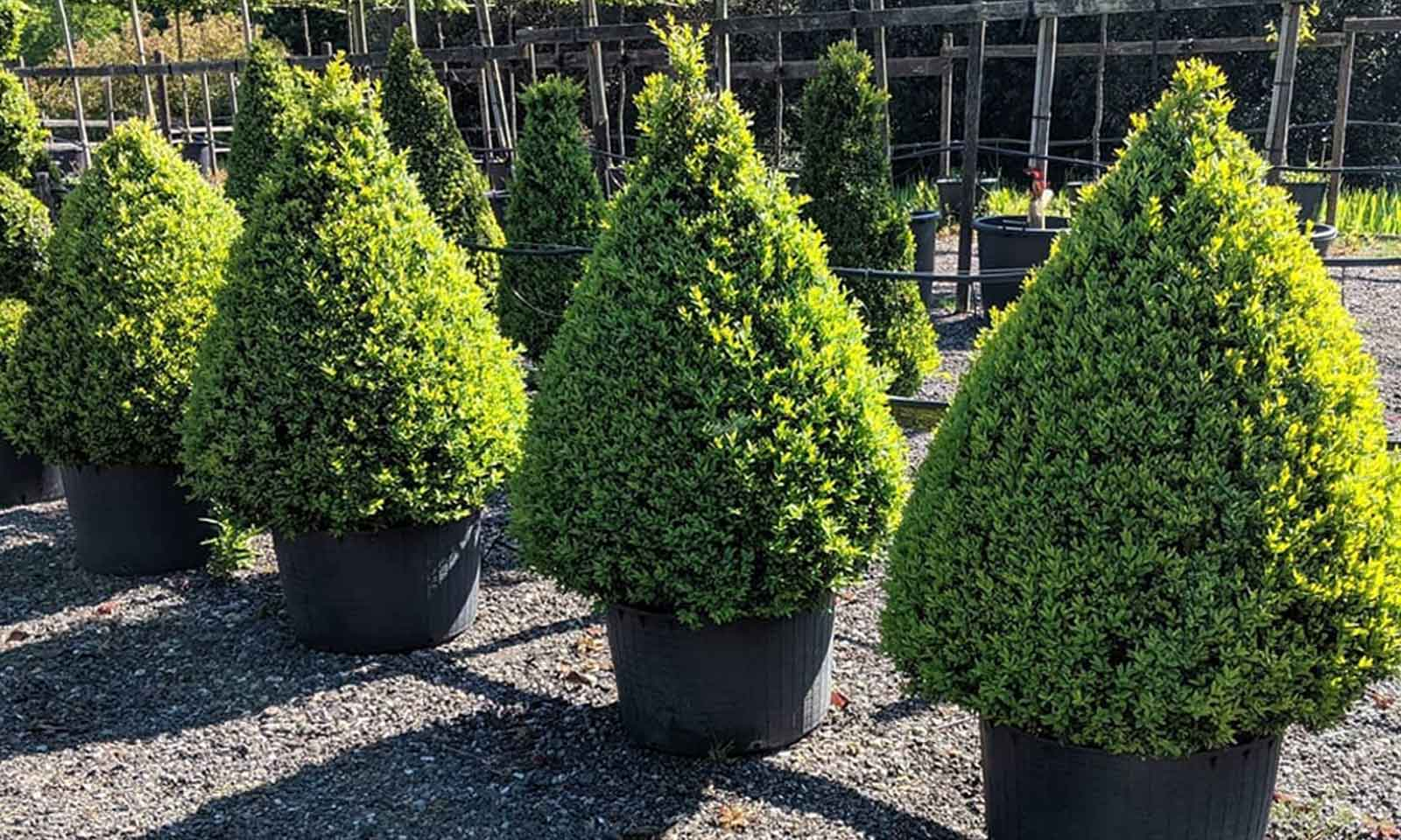 Buxus Microphylla Faulkner (Box Faulkner) - Cone