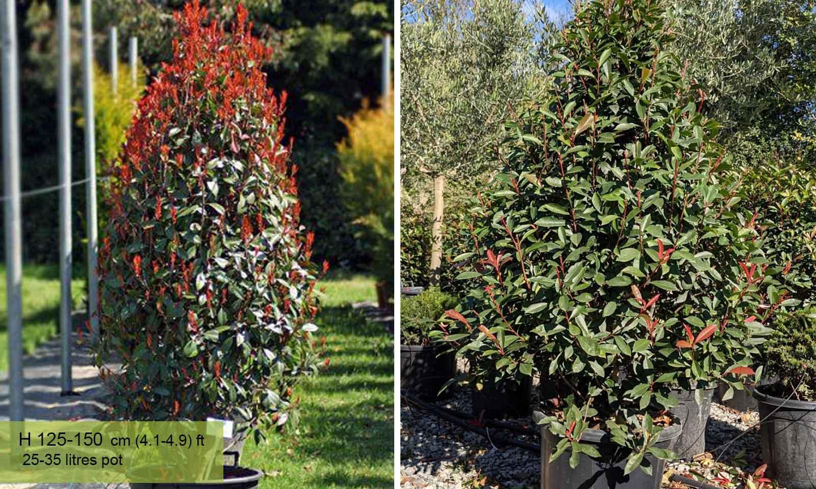 Photinia Serrulata Red Robin – Cone - Garden Plants Online