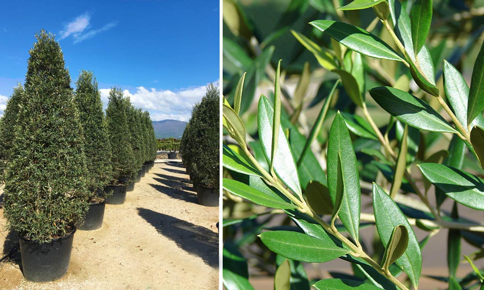 Olea Europaea 'Cipressino' (Olea Europaea 'Pyramidalis' / Olea Europaea 'Frangivento') – Shrub