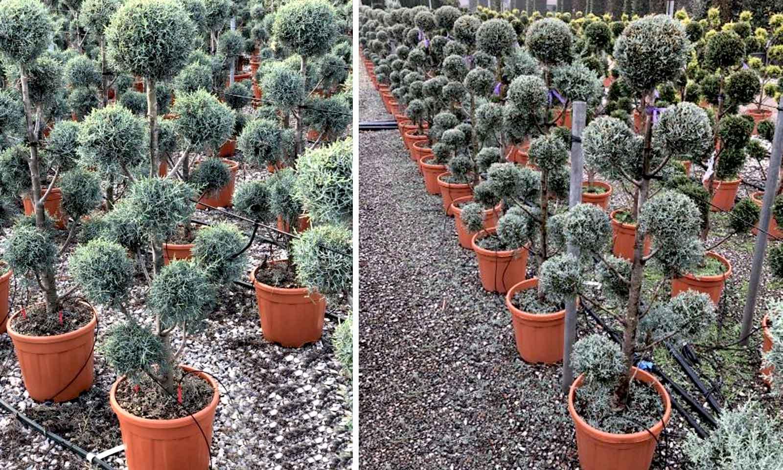 Cupressus Arizonica Fastigiata (Blue Arizona Cypress) – Pom Pon