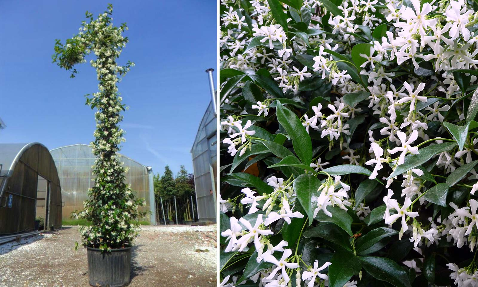 Rhyncospermum Jasminoides / Trachelospermum Jasminoides (Star Jasmine) – Climbing