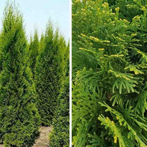 Thuja Occidentalis Smaragd (White Cedar Emerald) — Shrub