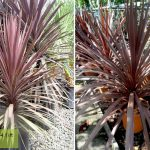 Cordyline Australis Atropurpurea (Purple Cabbage Tree)