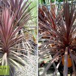 Cordyline Australis Atropurpurea (Purple Cabbage Tree) - Shrub