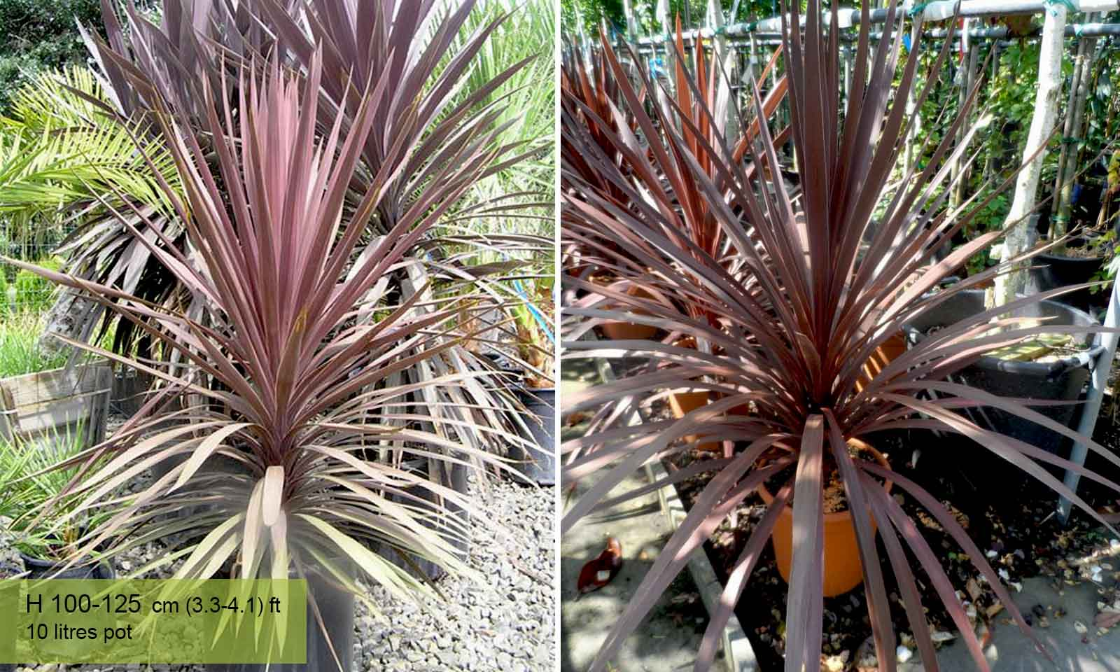 Cordyline Australis Atropurpurea (Purple Cabbage Tree) - Bush - Garden Plants Online