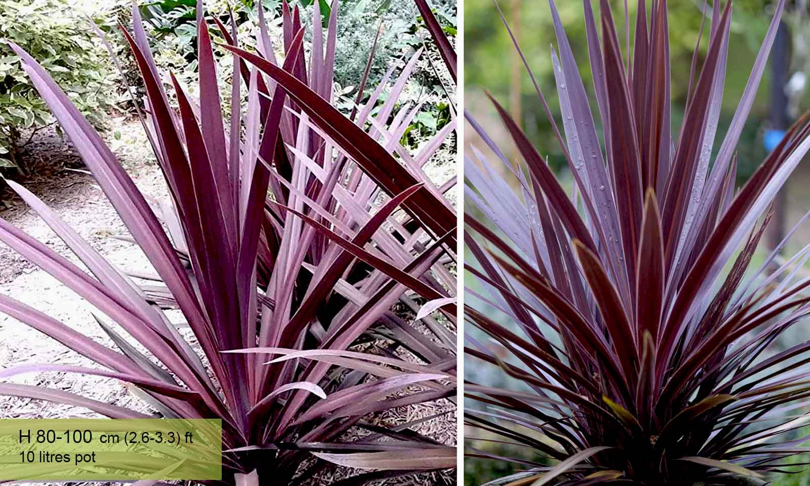 Cordyline Australis Atropurpurea (Purple Cabbage Tree) - Shrub - Garden Plants Online