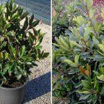 Eriobotrya Coppertone (Loquat Tree) - Bush