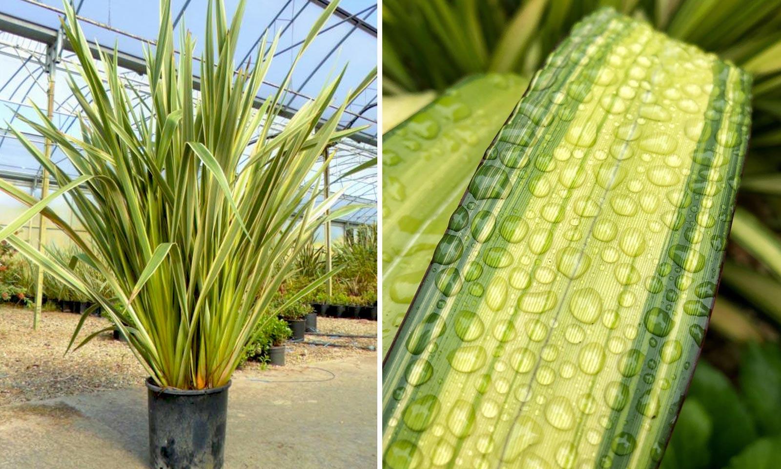 Phormium Tenax Veriegatum (Variegated New Zealand Flax)