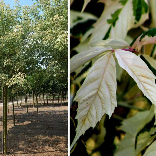 Acer Negundo 'Flamingo' (Box Elder 'Flamingo') - Standard