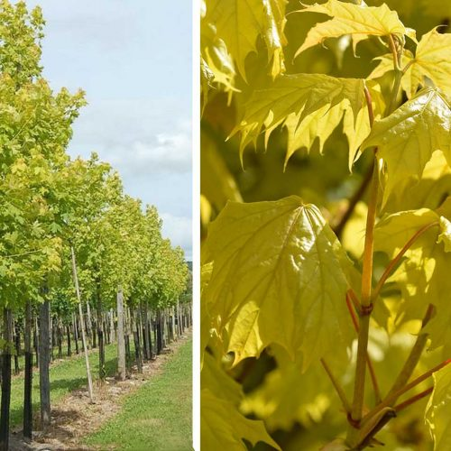 Acer Platanoides 'Princeton Gold' (Norway Maple 'Princeton Gold') - Standard