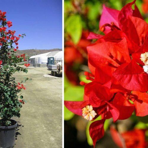Bougainvillea 'Scarlet O'Hara' ('Hawaiian Scarlet') - Climbing