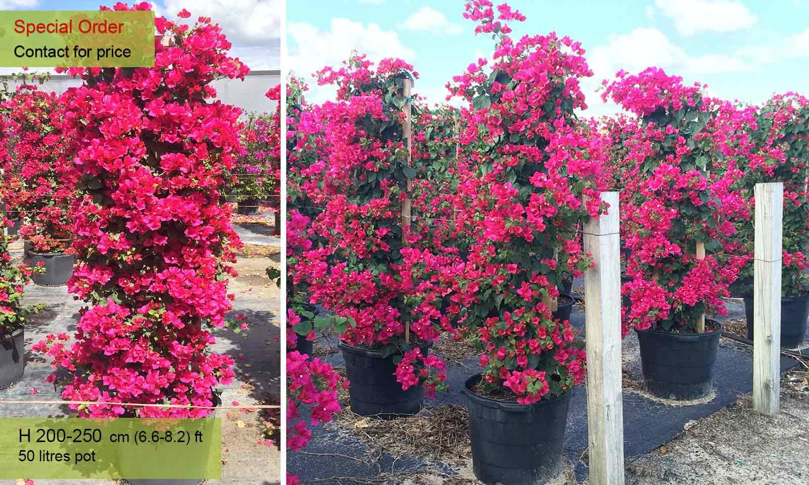 Bougainvillea Barbara Karst (Miss Manila) - Garden Plants Online