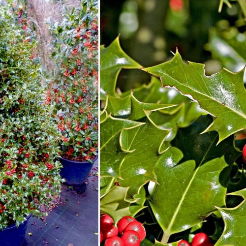 Ilex Aquifolium (Common English Holly) - Shrub