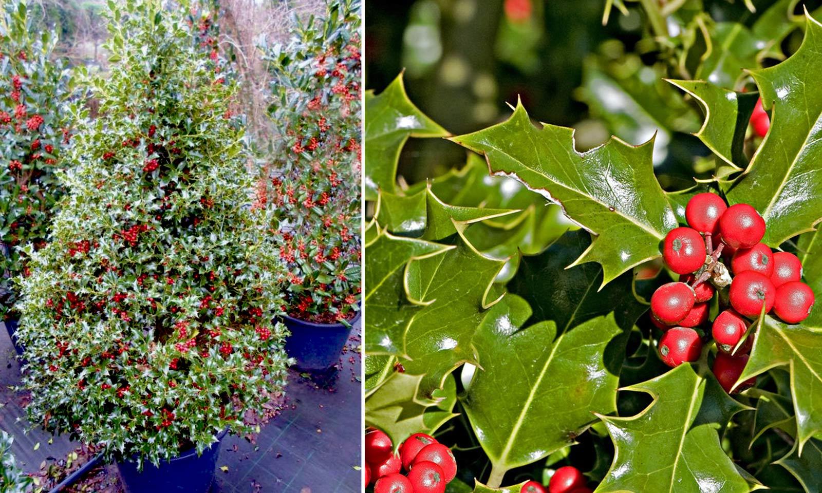 Ilex Aquifolium (Common English Holly) - Shrub