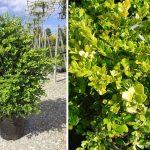 Buxus Microphylla Faulkner (Box Faulkner) – Shrub