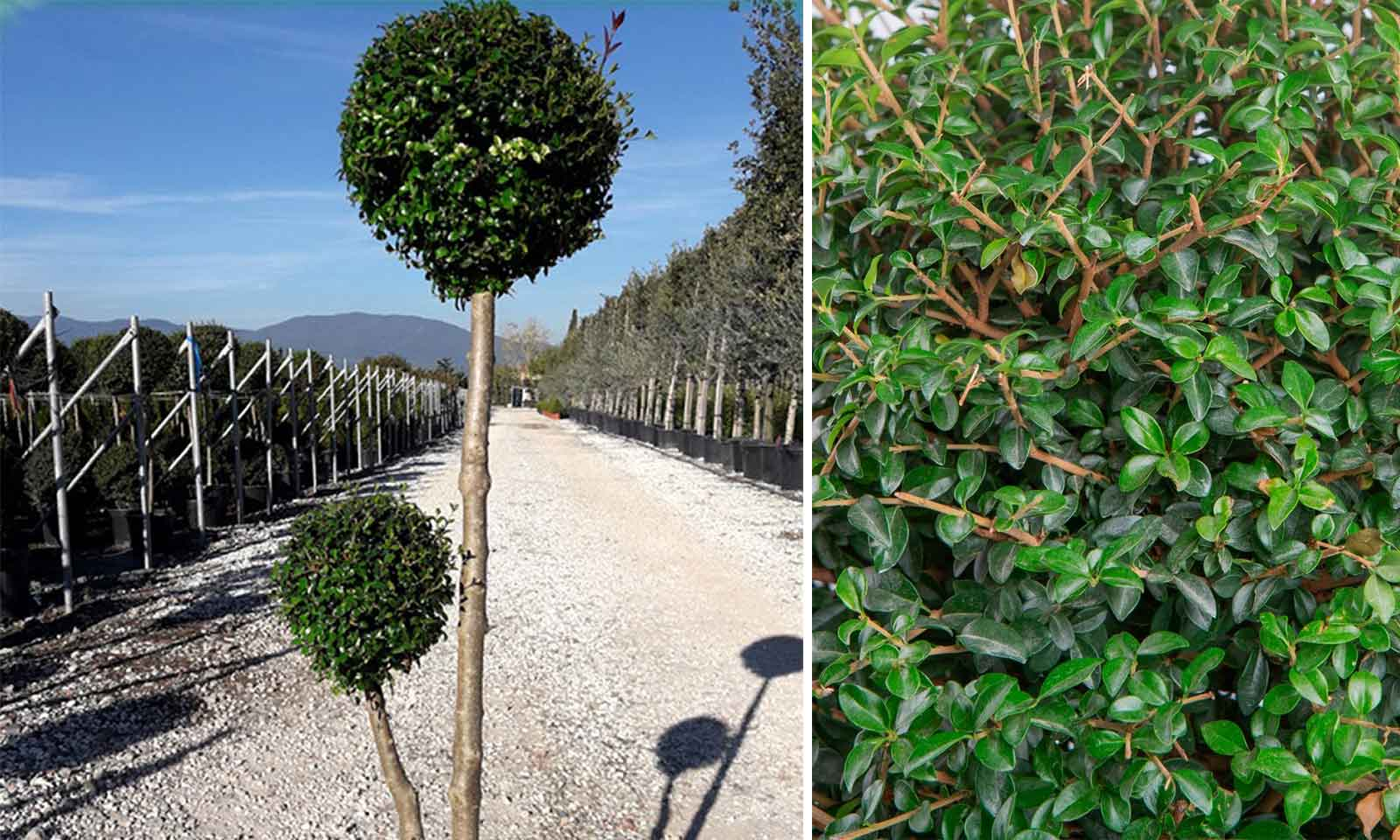 Ligustrum Jonandrum (Delavay Privet) - 2 Balls 2 Stems