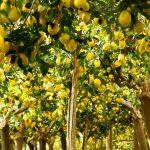 Citrus Limonum (Lemon Trees) – Half standard