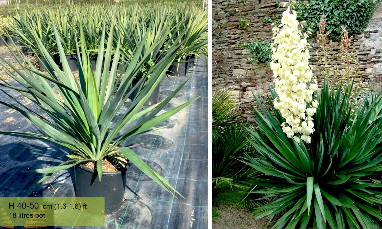 Yucca Gloriosa (Sea Islands Yucca) - Garden Plants Online