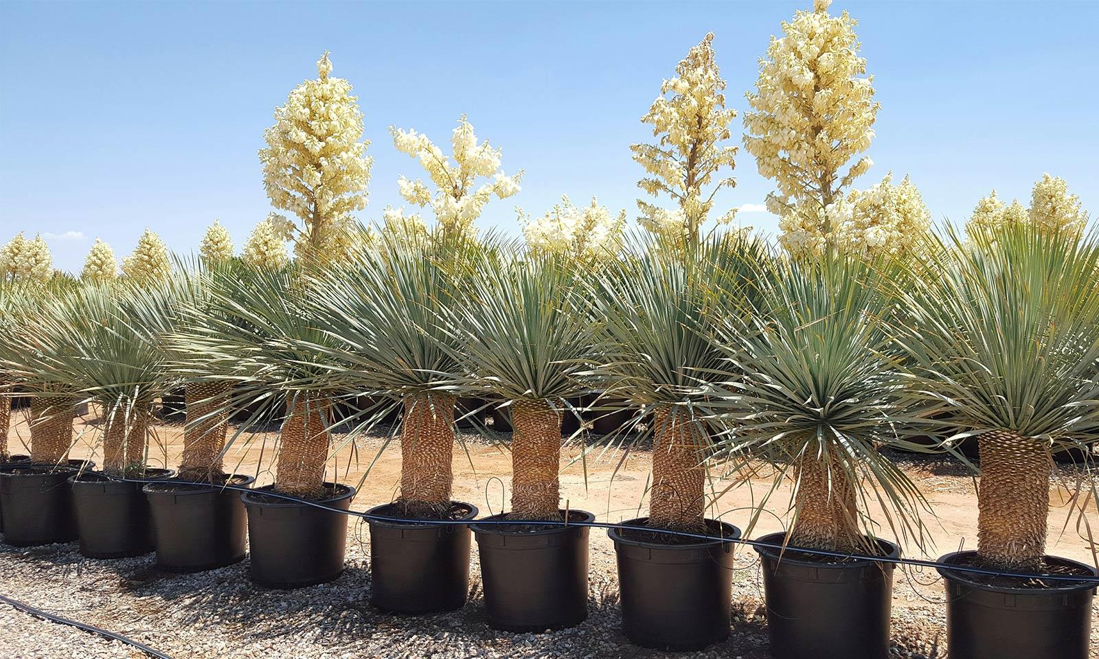 Yucca Rostrata (Blue Beaked Yucca)
