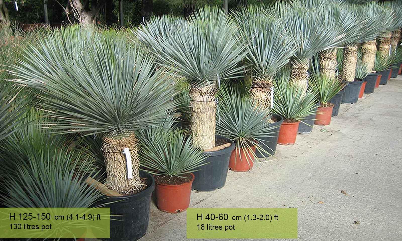 Yucca Rostrata (Blue Beaked Yucca) - Garden Plants Online