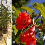 Punica Granatum (Pomegranate Tree) – Half Standard